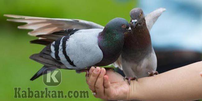 Tafsir memberikan makan seekor burung Merpati