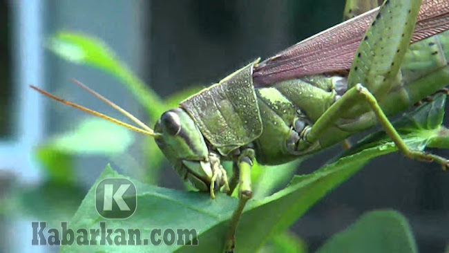 Tafsir membunuh belalang