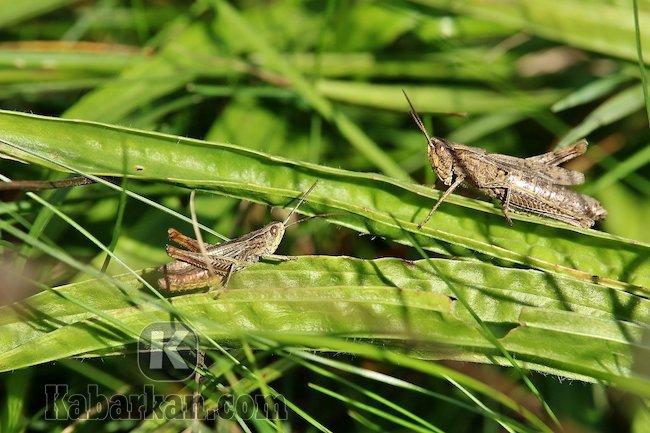 Tafsir menangkap belalang