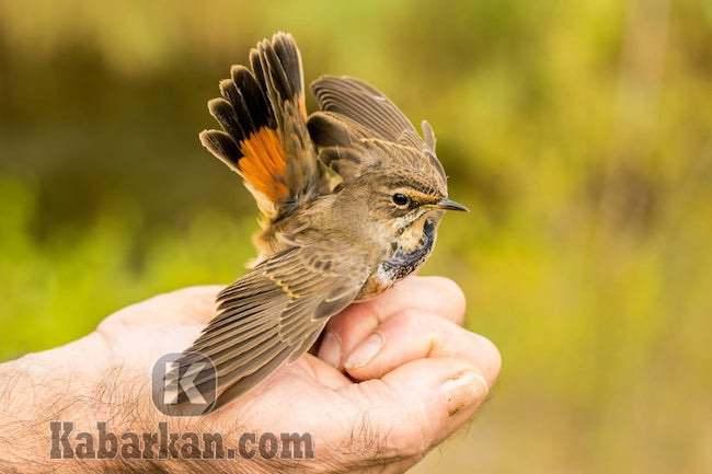 Tafsir menangkap seekor burung berdasarkan primbon Jawa