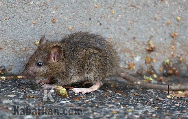 Tafsir menangkap tikus tapi terlepas