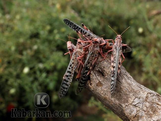 Tafsir menemukan belalang mati