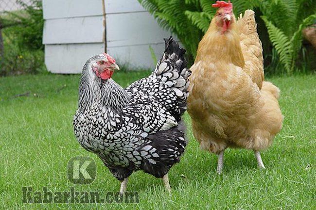 Tafsir mengejar ayam