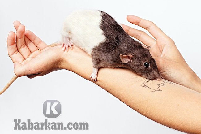 Tafsir mimpi digigit tikus
