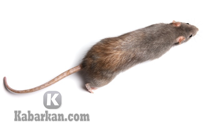 Tafsir mimpi melihat bangkai tikus