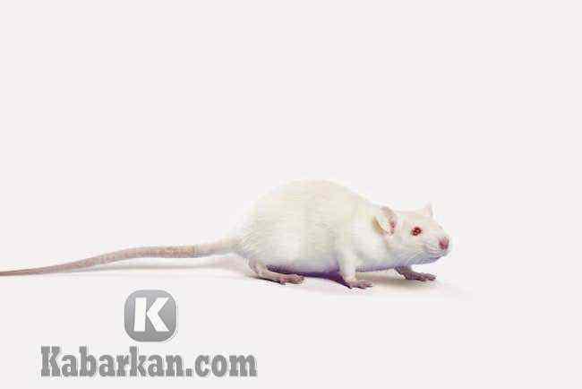 Tafsir mimpi melihat tikus putih