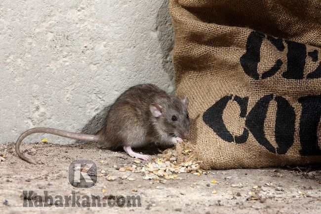 Tafsir mimpi membunuh tikus